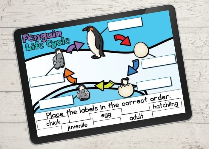 The unfinished digital diagram of a life cycle of a penguin activity slide for the life cycle order.